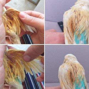 Kuşumun kanadı sarkık ve yara