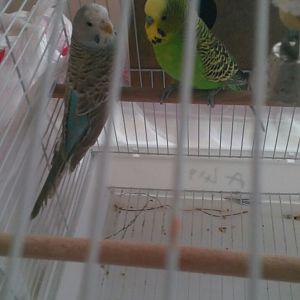 Paşa ve Maviş