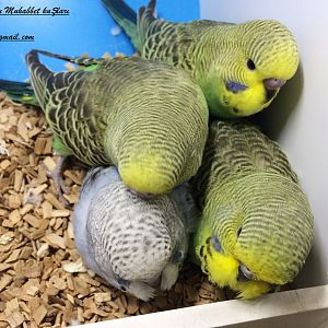 İşte en sevdiklerimden doğal yeşil tosuncuk muhabbet kuşu yavrularımız