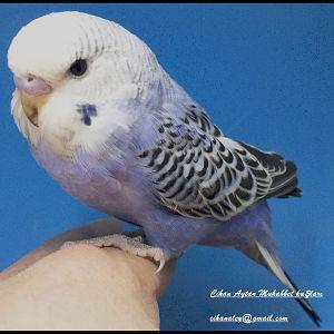 açık mor muhabbet kuşu yavrumuz