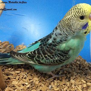 Farklı bir yeşil tonu muhabbet kuşu yavrumuz