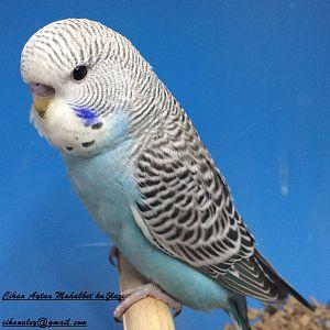 klasik mavi muhabbet kuşu yavrumuz
