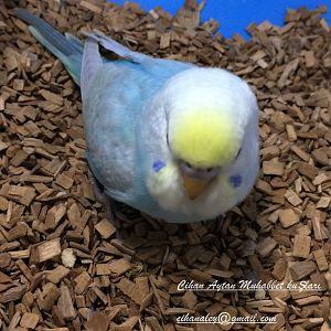 Rainbow muhabbet kuşu yavrumuz