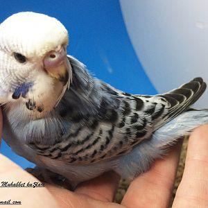 gri muhabbet kuşu yavrumuz henüz yuvada