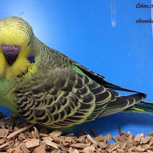 yeşilin en yeşili yeşil muhabbet kuşu  bebek