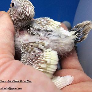 farklı bir renk kahverengi rengini farkeden varmı kahverengi yavru muhabbet kuşumuz henüz yuvada