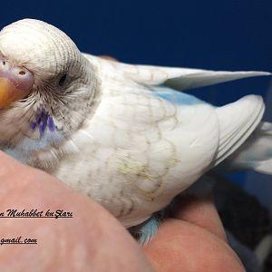 bu spangle yavru muhabbet kuşumuz yuvadan çıkmak için gün sayıyor