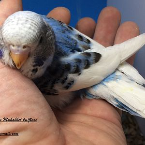 Parçalı mutasyon yavru muhabbet kuşumuz yakında yuvadan çıkar