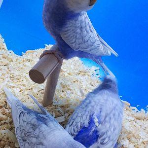 Spangle mavi muhabbet kuşu