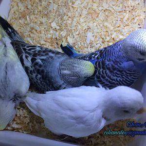 mavi muhabbet kuşu