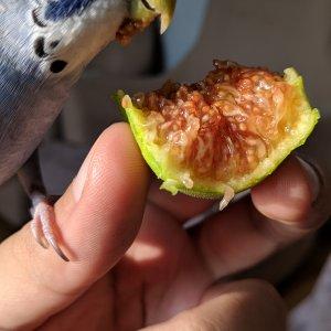 PIRPIR incir yiyor.