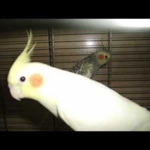Sultan Papağanım Lütfü Ötüşü ( Cockatiel )