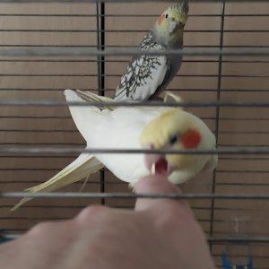 Lütfü Parmak Dövüşü (Cockatiel Finger Fight)