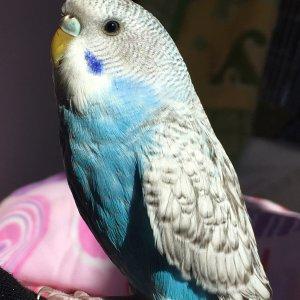 Maviş