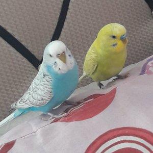 Maviş ve Limon